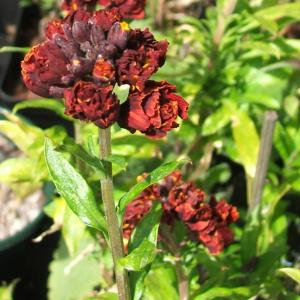 Erysimum Bloody Warrior3