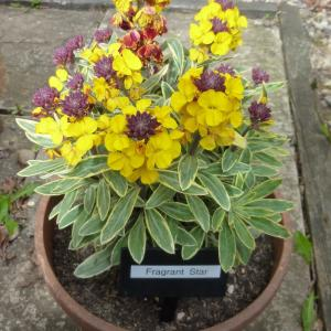 Erysimum Fragrant Star