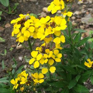 Erysimum Golden Gem