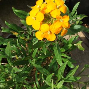 Erysimum Orange Queen